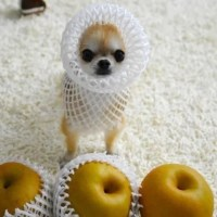 Asian Pear | Food Halloween Costume Ideas For Dogs ...