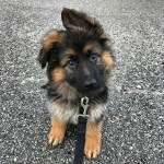 The Cutest Pictures Of German Shepherd Puppies Popsugar Pets
