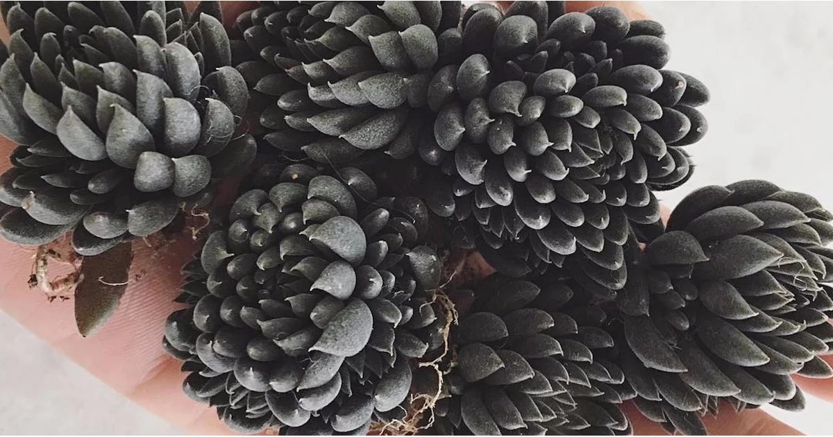 Black Succulents  POPSUGAR Home