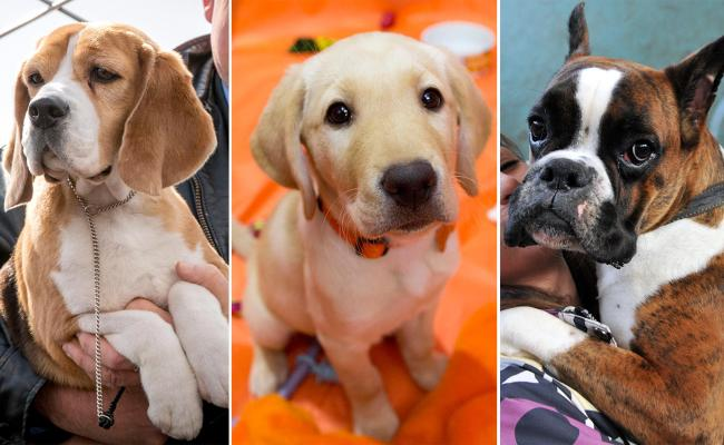 The Most Popular Dog Breed In The Us For The 24th Straight Year Is Today