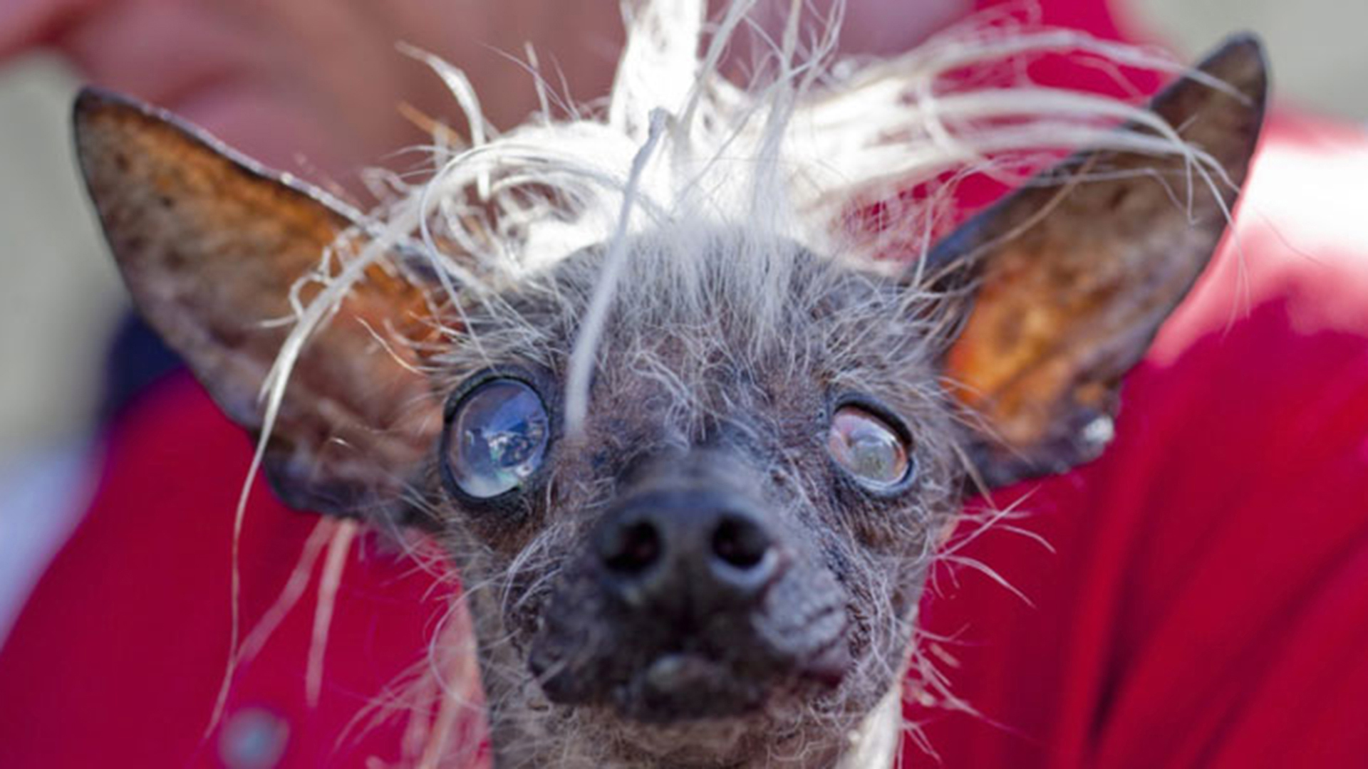 what breed is the ugliest dog in the world