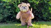 'Star Wars' fans: Munchkin the dog's cute Ewok impression