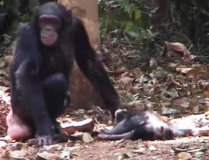 Chimps confront death in humanlike ways  Technology