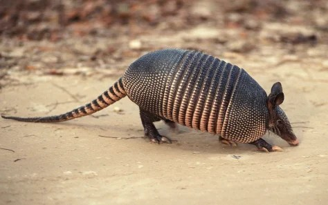 eating armadillos blamed for