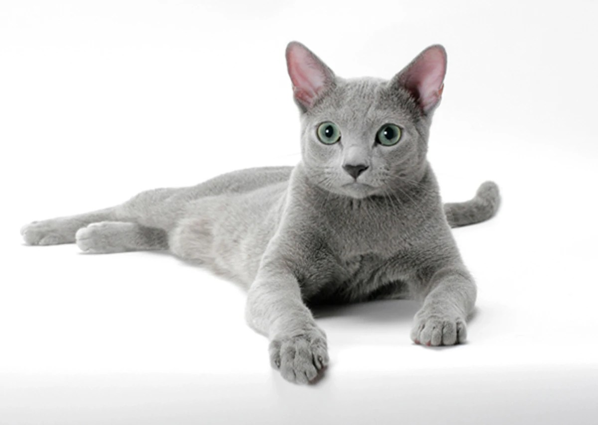 Top Cat Breeds For Inspirations