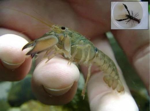 Tiny crayfish