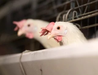 Image: Chickens