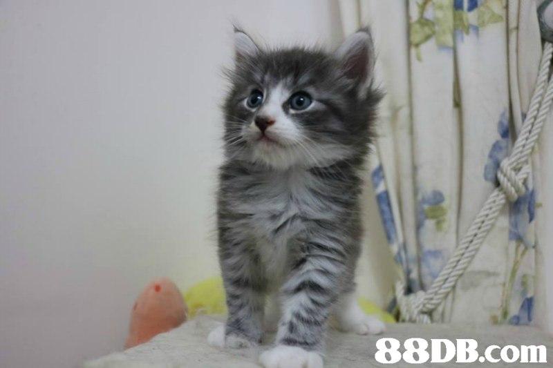 挪威森林貓 - 挪威森林貓 - 香港寵物資訊 - 88DB服務平臺