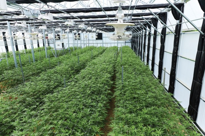 The greenhouse at The Pass in Sheffield, Massachussets, a vertically integrated growhouse and dispensary.