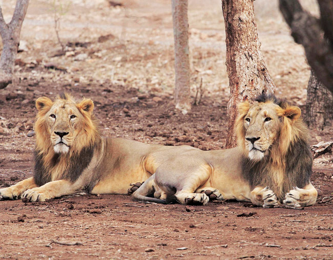 Image result for Asiatic lion in gir forest