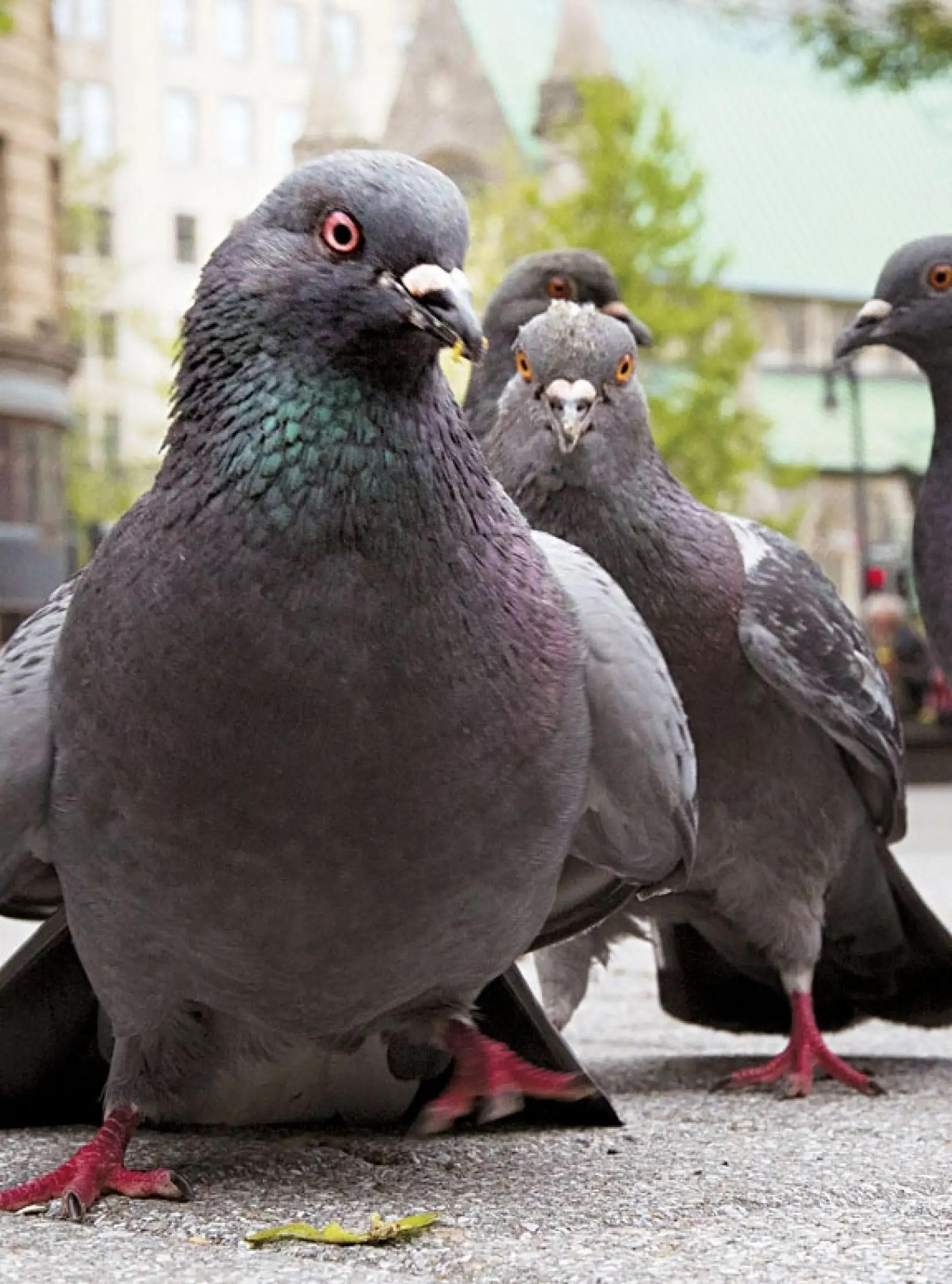 Ce Que Detestent Les Pigeons : detestent, pigeons, Faut-il, Réhabiliter, Pigeon, Biset?, Devoir