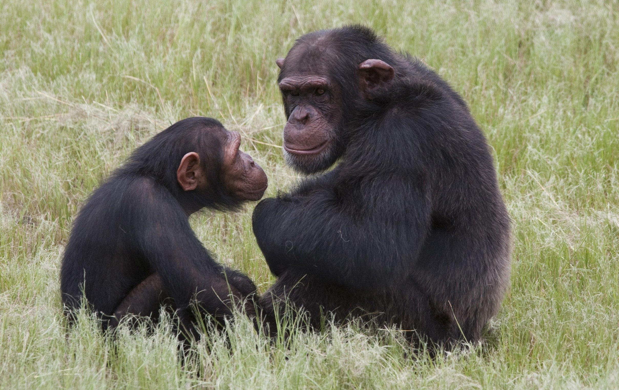 Pet Primates Chimps Raised By Humans Have Social Problems