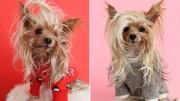 meet willie yorkie dog