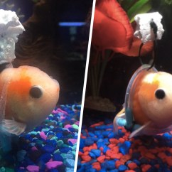 Tank Chair Wheelchair Best Outdoor Chairs Disabled Goldfish Gets A Tiny 39wheelchair 39 To Help Him