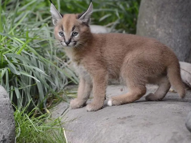 Caracal Kittens For Sale In Arizona - Home Decor Interior
