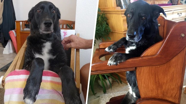 dog high chair desk youtube with esophageal disorder gets custom built leaps into shaped for her meal