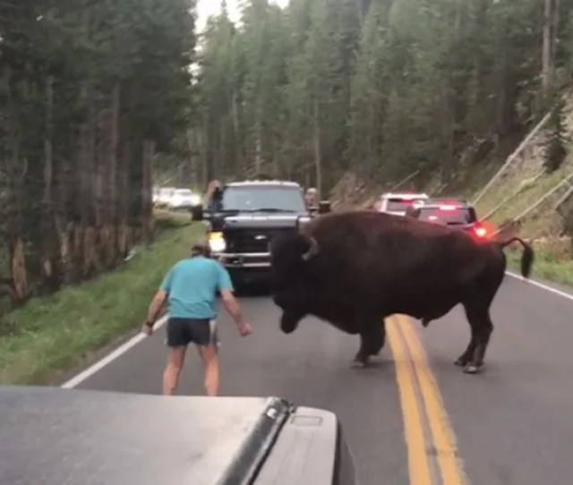Image Man Confronts Bison Yellowstone