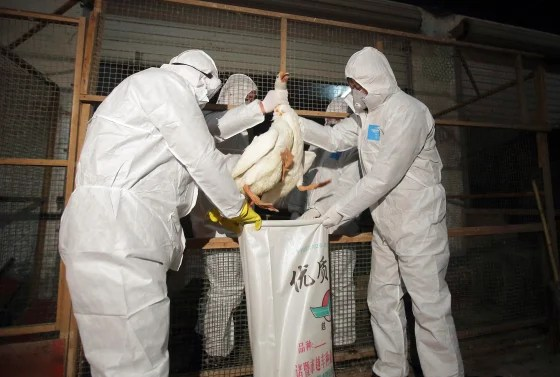 Health officials in protective suits put a goose into a sack as part of preventive measures against the H7N9 bird flu at a poultry market in Zhuji, Zh...