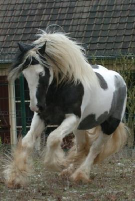 Pferderasse Irish Tinker  Caballo Horsemarket