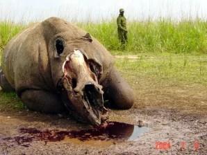 Poachers halve white rhino species group says  US news
