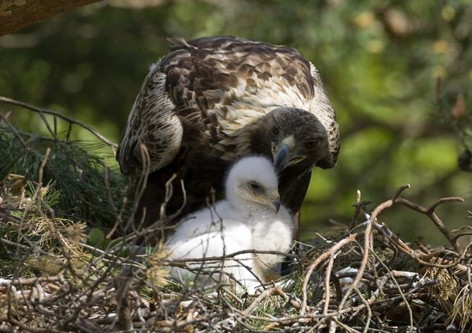 baby golden eagle pictures