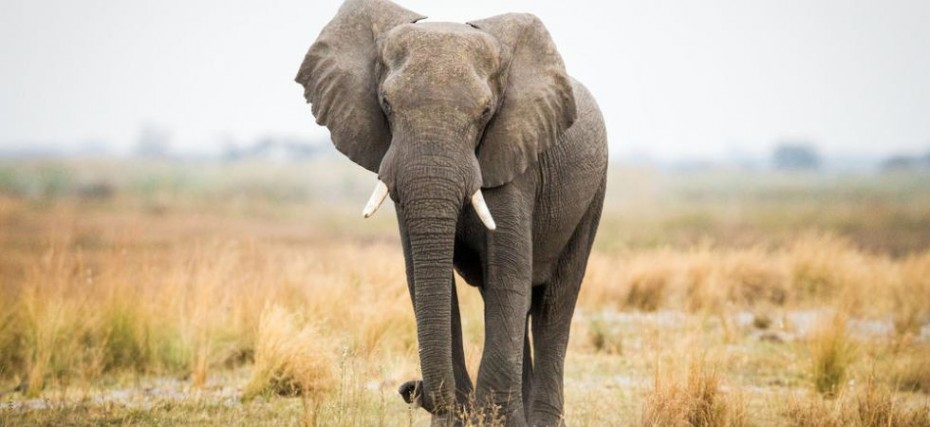 Singapore Set To Ban Sale Of Elephant Ivory From 2021 News Nation English