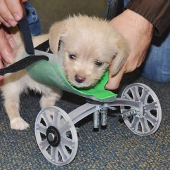 Wheelchair Dog High Seat Chairs For Elderly Uk Tumbles The Two Legged Puppy Takes First Steps With 3d