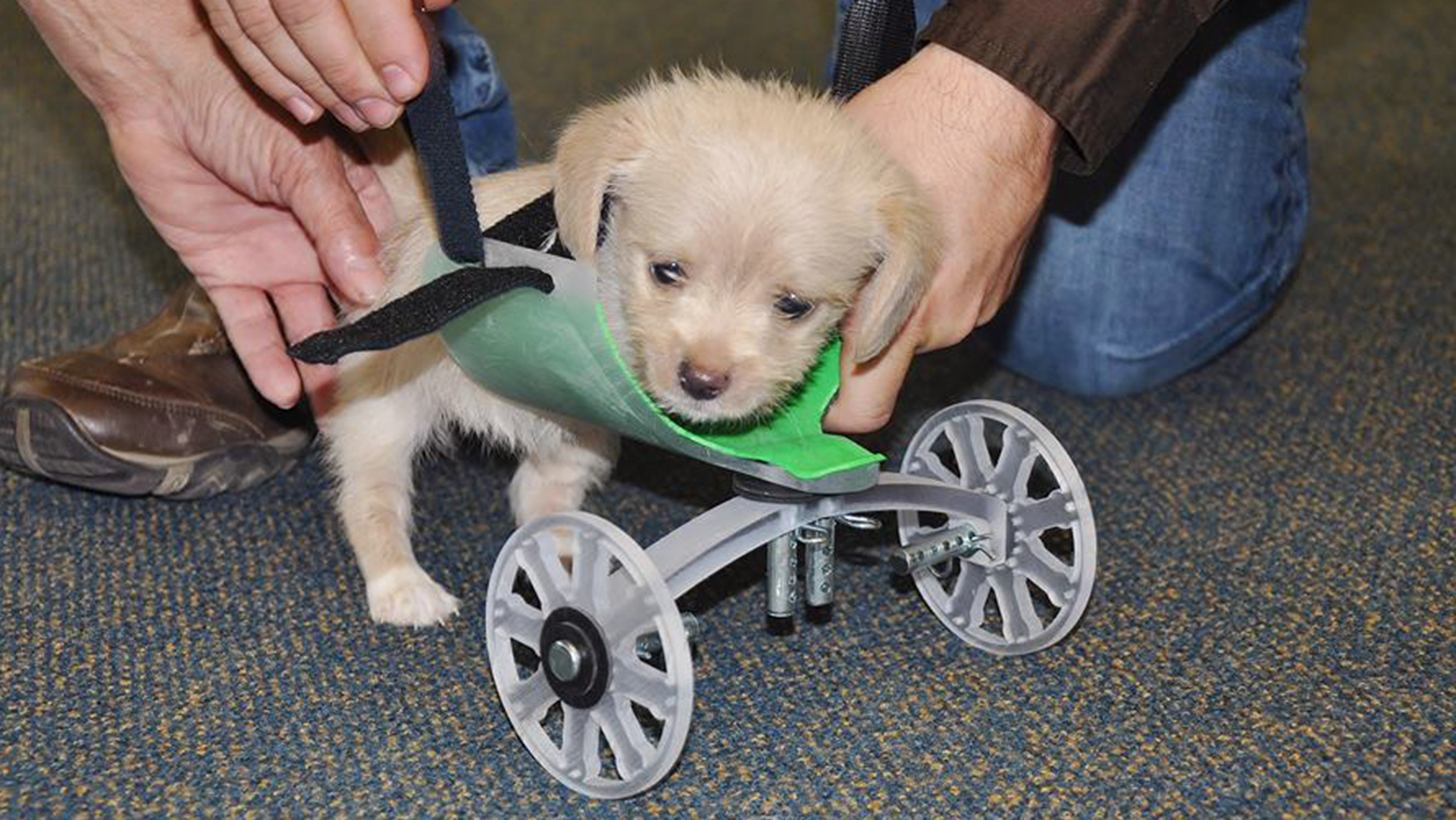 wheel chairs for dogs swing chair frame tumbles the two legged puppy takes first steps with 3d