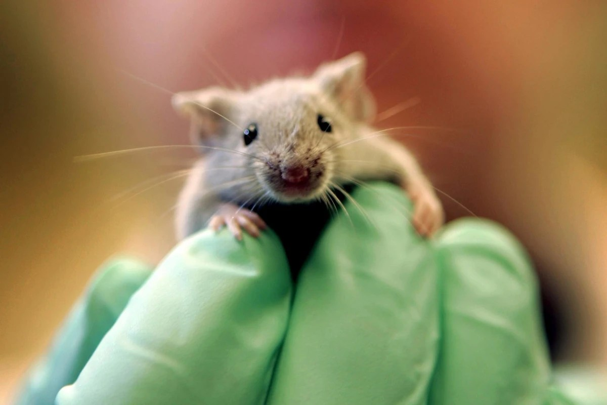 More Animals Used in Lab Experiments Study Finds  NBC News