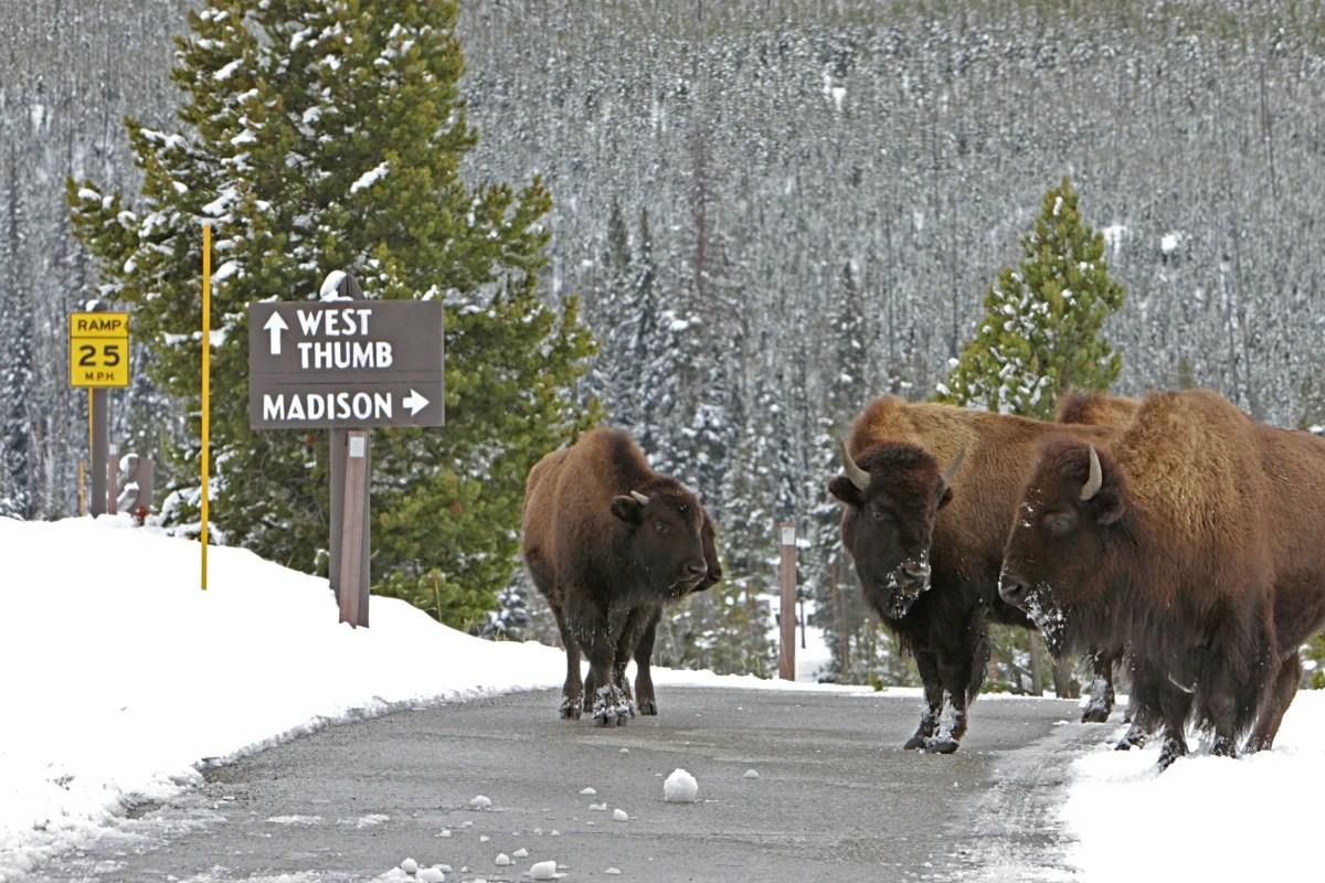 Obama Signs Legislation Designating Bison National Mammal