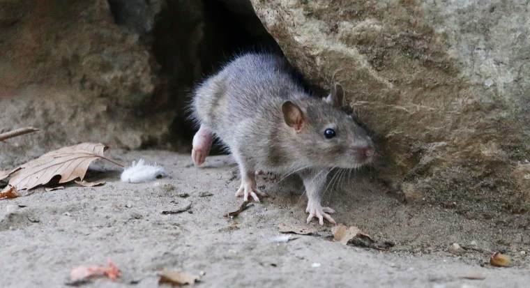 Rat-Borne Leptospirosis Infection Kills One in NYC