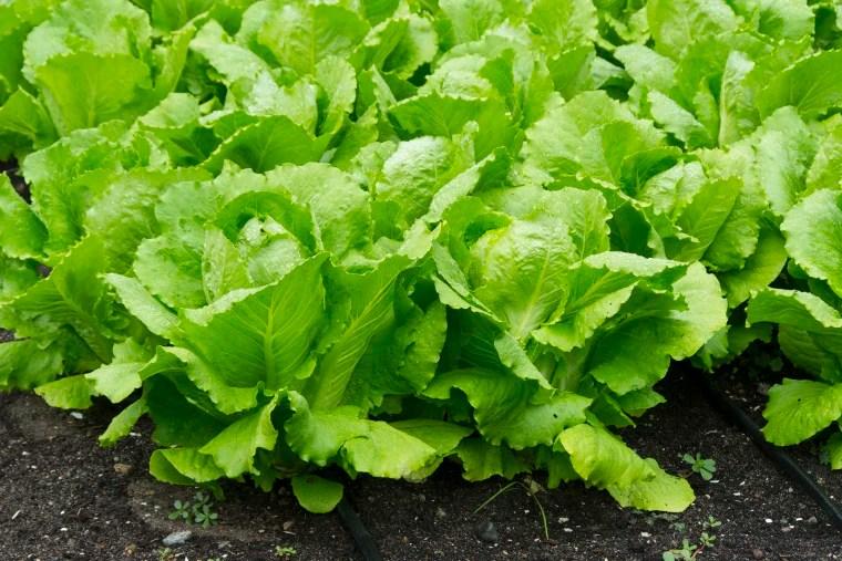 Image result for romaine lettuce