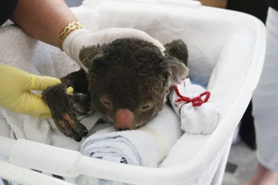 Koala mittens