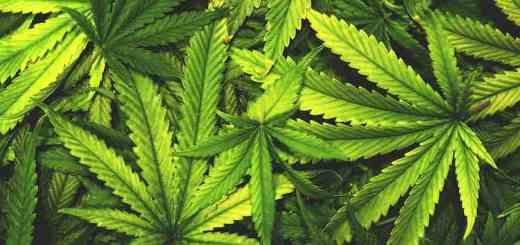 Cannabis Marijuana Leaf Pile