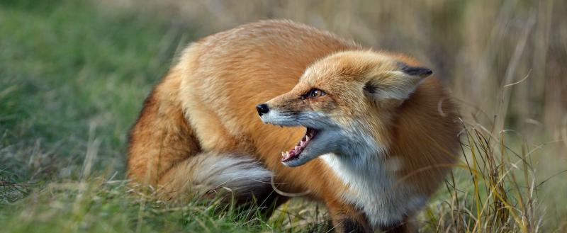 Бешеные лисы стали причиной карантина в Кобринском районе