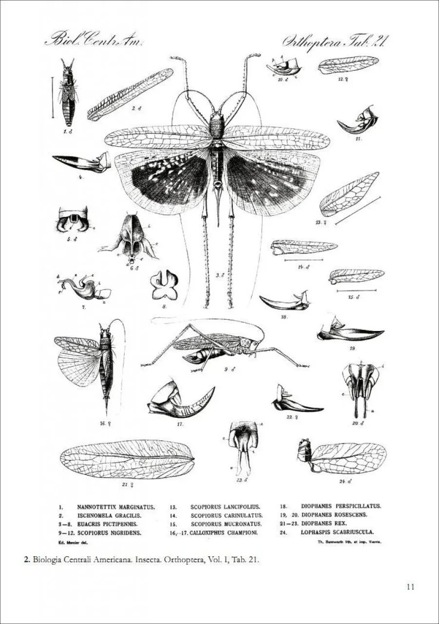 hight resolution of  locusts crickets and katydids of mexico chapulines langostas