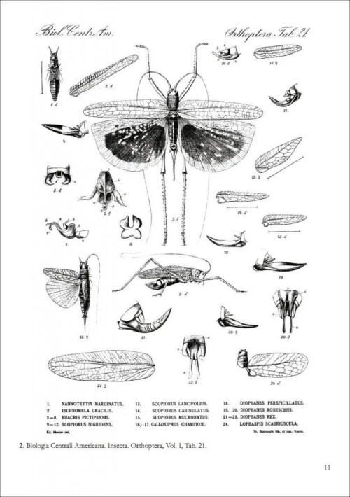 small resolution of  locusts crickets and katydids of mexico chapulines langostas