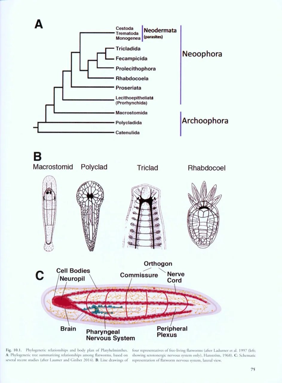 medium resolution of structure and evolution of invertebrate nervous systems structure and evolution of invertebrate nervous systems