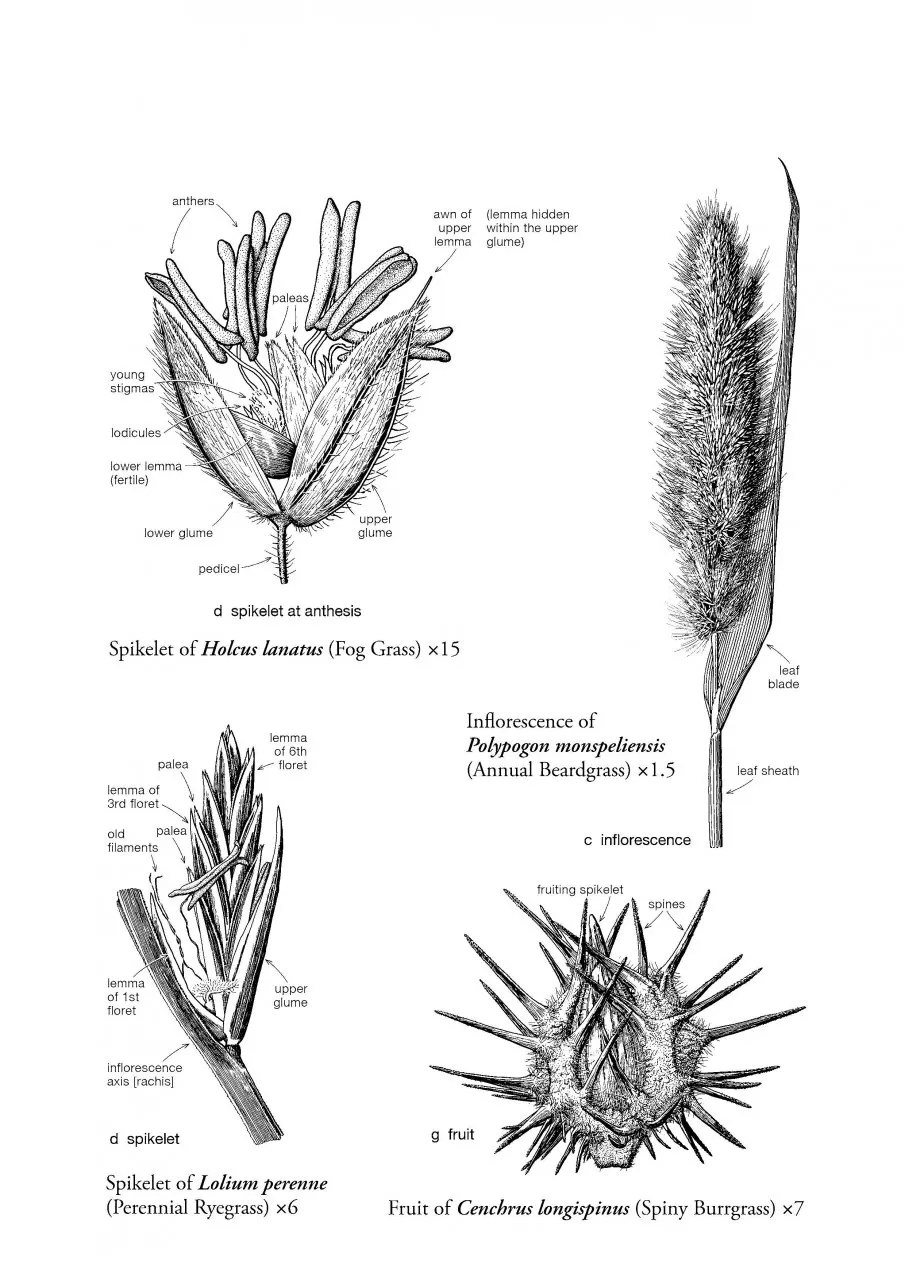 Name Those Grasses: Identifying Grasses, Sedges and Rushes