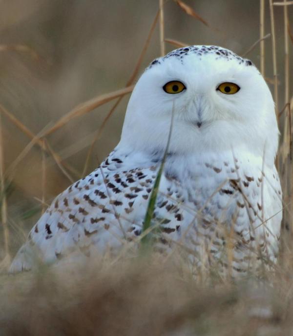 Grand Rapids Airport Faces 'unprecedented' Influx Of Snowy Owls Michigan Radio