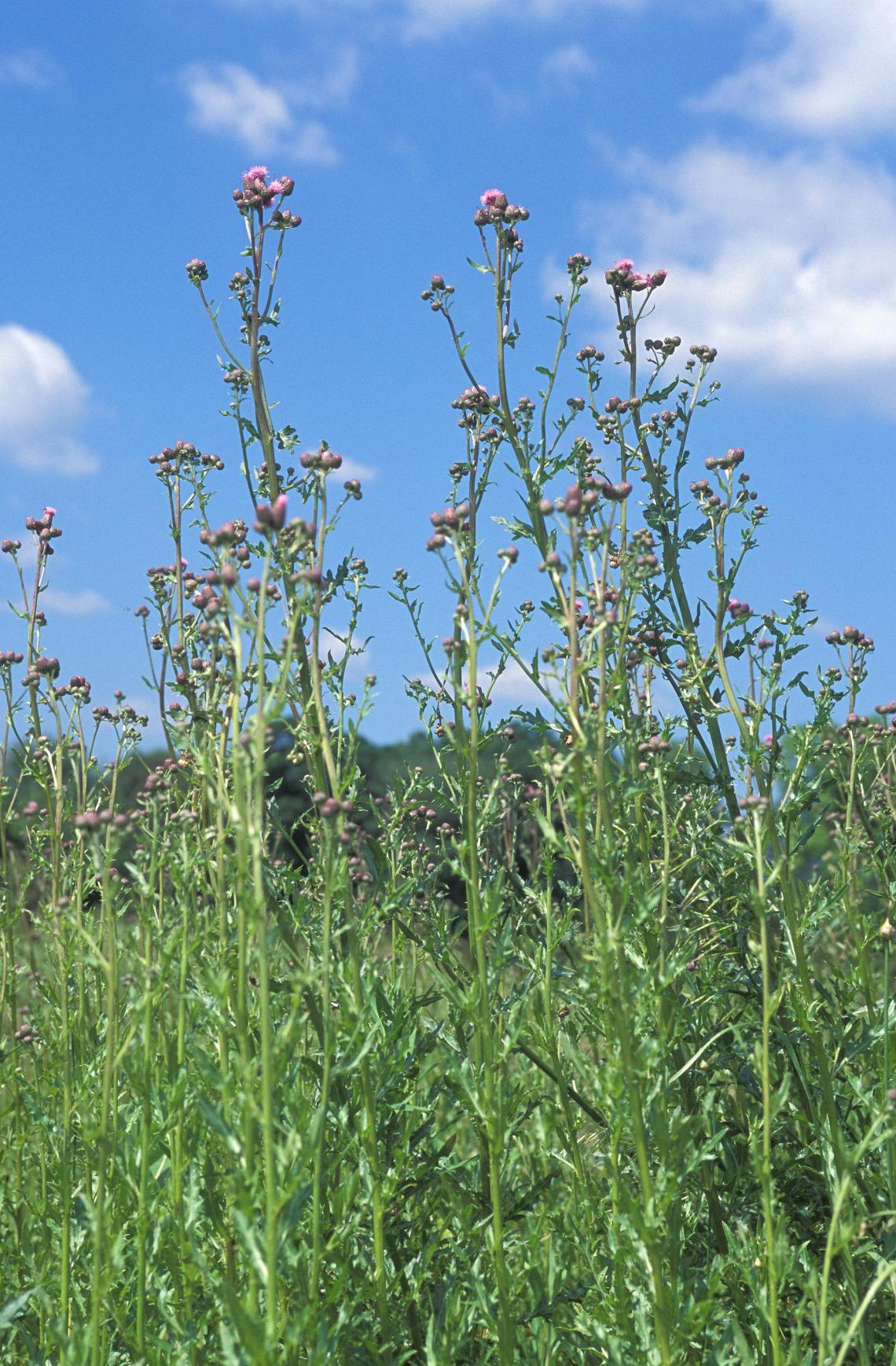 Researchers have discovered that ragweed is producing more allergenic ...