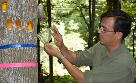 LSU AgCenter entomologist Rodrigo Diaz released the first sample of parasitoid wasps July 10 onto an infected ash tree in Shongaloo, La.