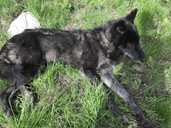 This Togo pack wolf, an adult male shown when he was radio-collared in early June, is now marked for death by WDFW.