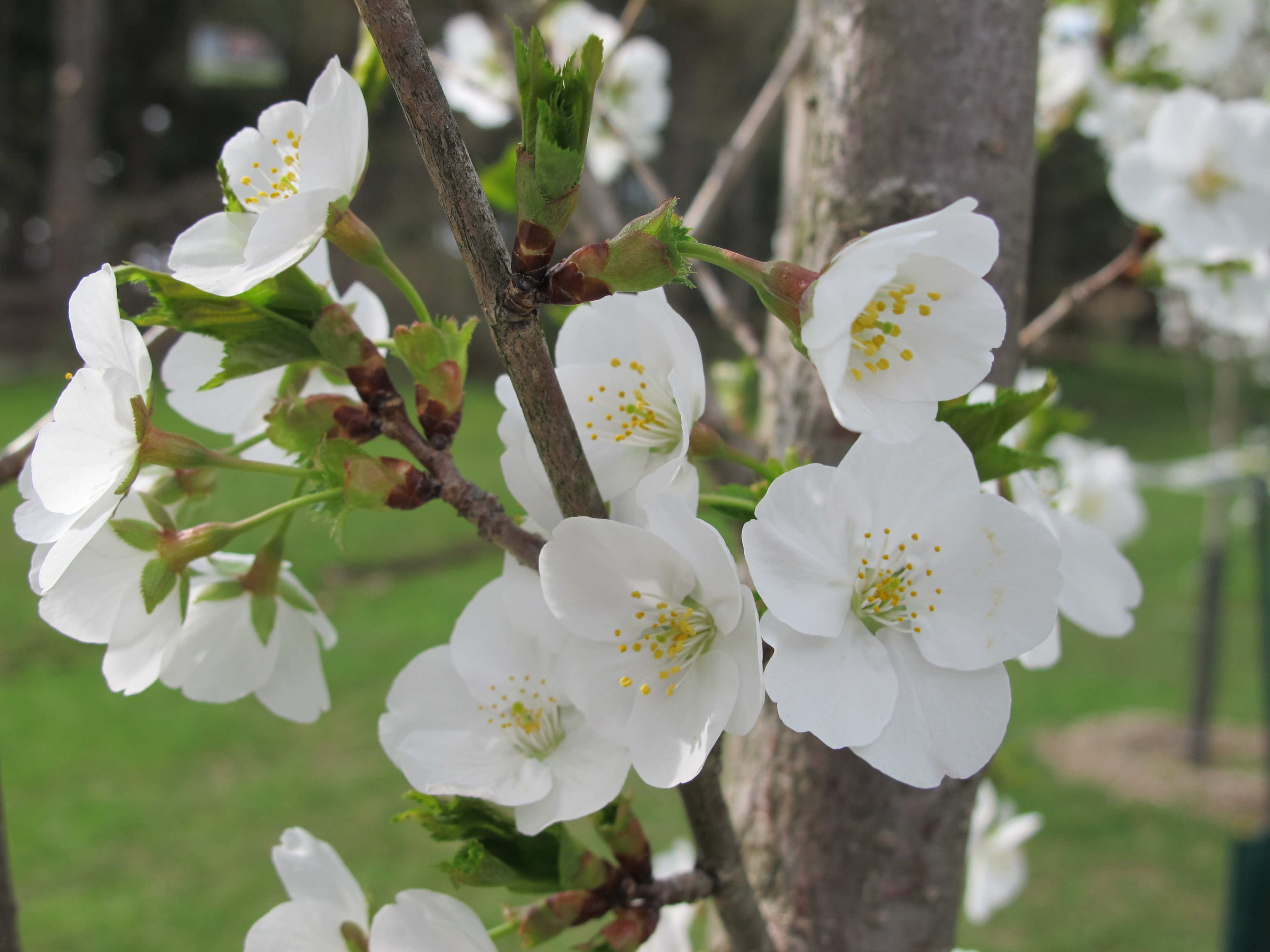 Cherry Trees Bring Japan To Allegheny Countys North Park 905 WESA