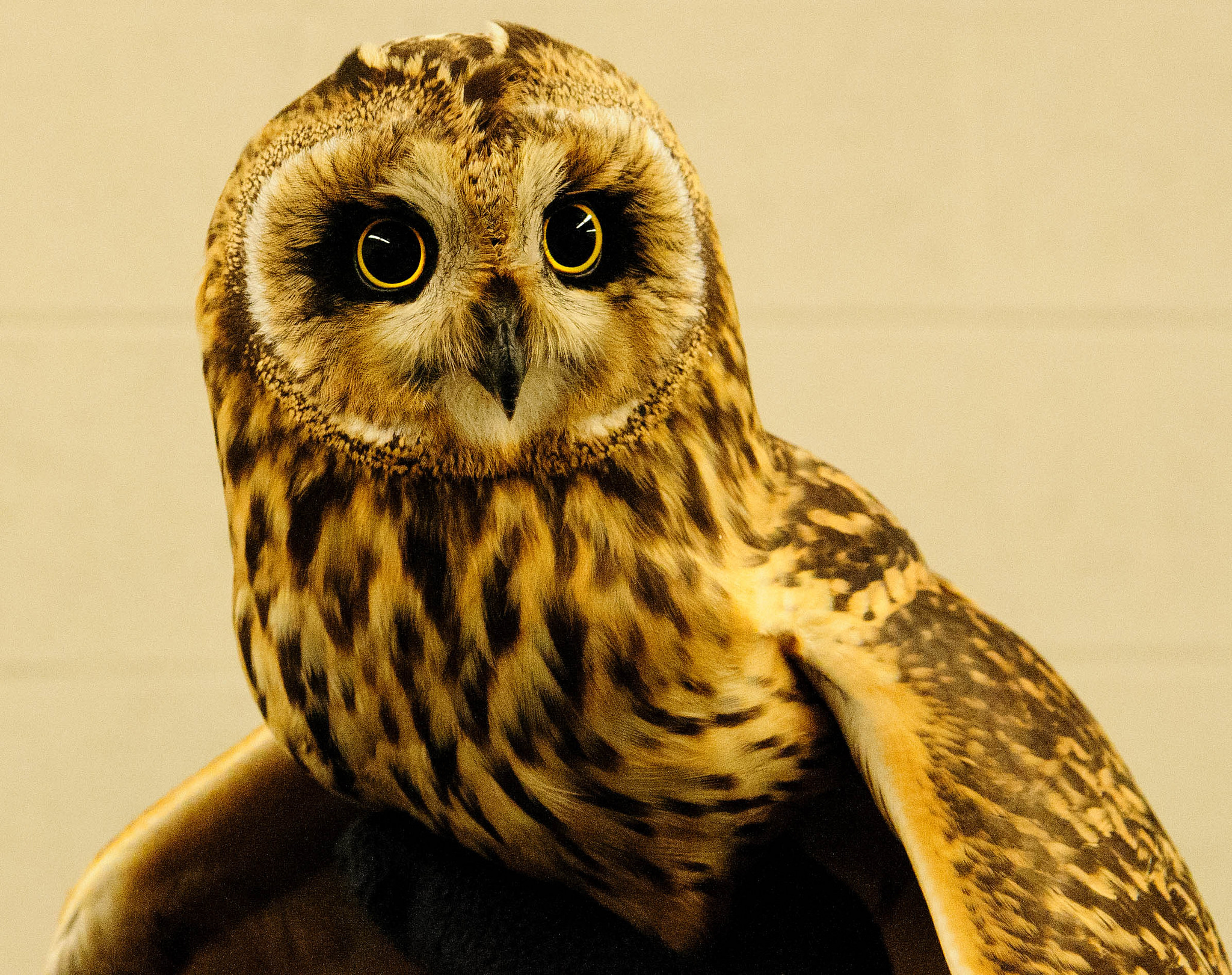 Pittsburgh Airport Transfers Endangered Owls To Natural