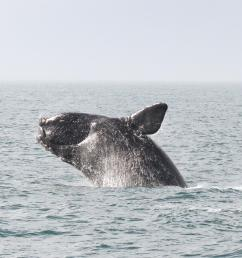 north atlantic right whale breaching [ 2400 x 1600 Pixel ]