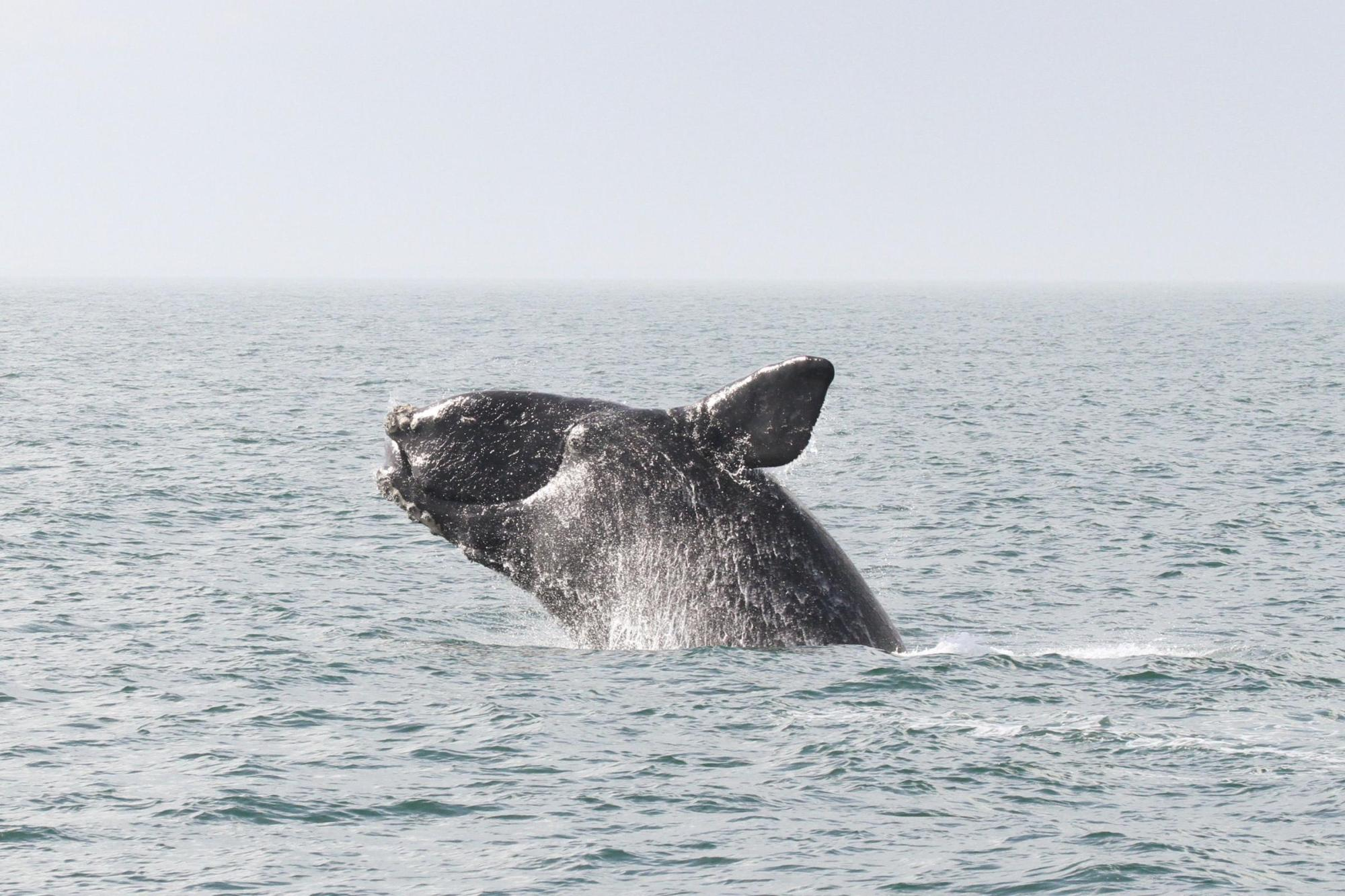 hight resolution of north atlantic right whale breaching