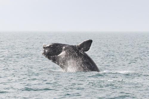 small resolution of north atlantic right whale breaching