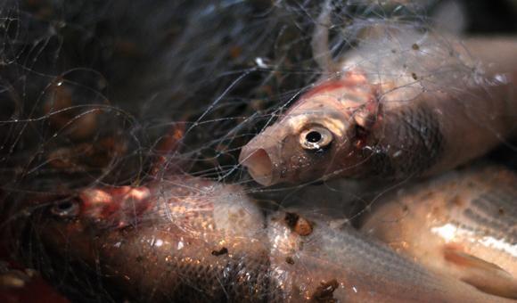 Chub Fishery Disappearing Interlochen