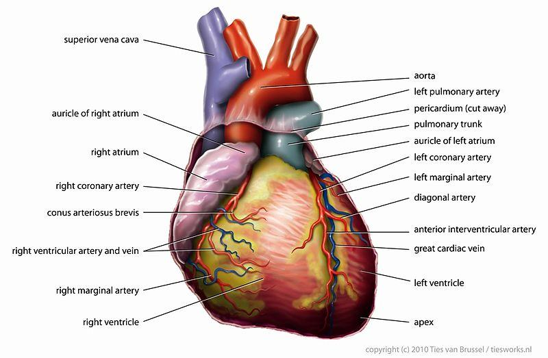 anterior heart diagram unlabeled usb wiring cable live great installation of manual e books rh 7 iq radiothek de worksheet blank